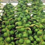 brussels sprouts green